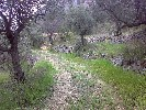 A track through the olive grove