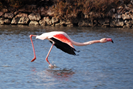 You can see lots of these beautiful flamingos nearby