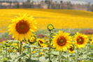 Fields of beautiful sunflowers, seen in May June