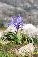 Pretty mountain iris, seen from December until late January