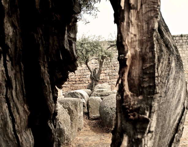Olive trees in archaeological dig in Mérida, Spain. Photo © snobb.net