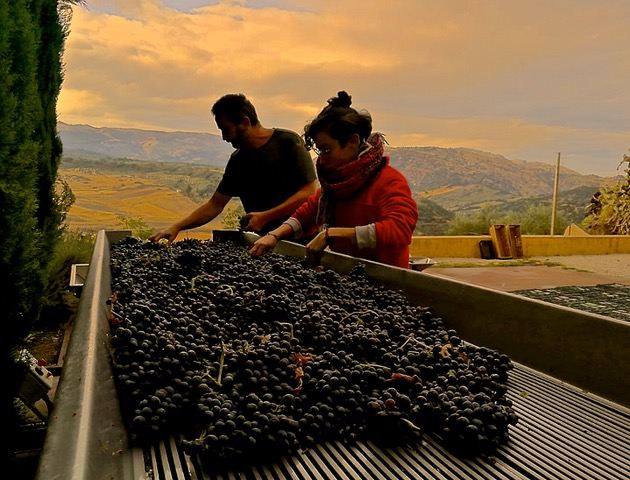 Vicente and María sorting grapes in early morning. Photo © snobb.net