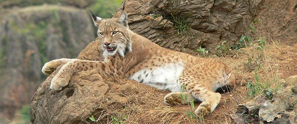 animals in danger lynx in europe The iberian lynx is currently the most endangered wild cat species in the world through captive breeding programs, they are now being reintroduced.